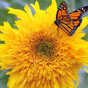 MonarchButterfly_Wikimedia_LizWest_600