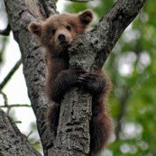 BlackBearCub_Flickr_BobJagendorf