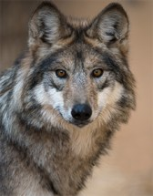 Mexican_gray_wolf_Robin_Silver(1)