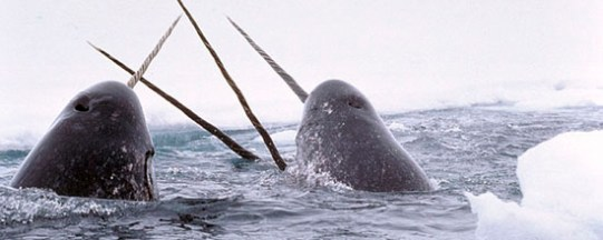 narwhal-m
