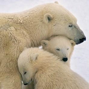 PolarBearFamily_Flickr_rolando000