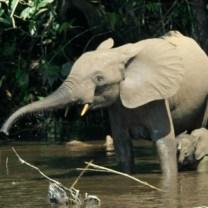 African_forest_elephant_Wikimedia_Thomas_Breuer