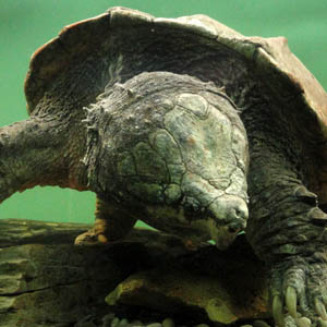 AlligatorSnappingTurtle_Flickr_MelissaWilkins_300