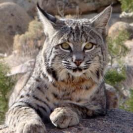Bobcat_AnnicaKreuter2.JPG