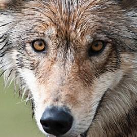 Gray_wolf_flickr_Sandy_Brown_Jensen