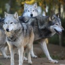 Gray_wolves_flickr_RonnieMacDonald_300