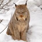 Canada_lynx_wikimedia_by_Michael_Zahra_300