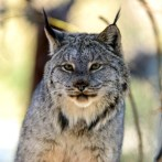 CanadaLynx_Flickr_EricKilby_2(1)