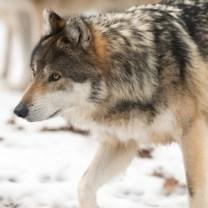 Gray_wolf_walking_Flickr_eric_kilby_300