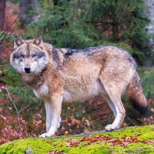 Gray_wolves_Flickr_MRT_HK_300