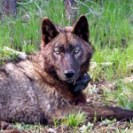 OR25, a yearling male in the Imnaha Pack, after being radio-collared on May 20, 2014. Photo courtesy of ODFW. Download high resolution image.