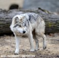 EarthJustice-MexicanGrayWolf_250