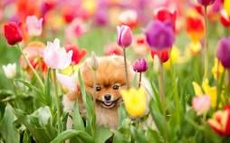 pralormo_MESSER TULIPANO_quattro zampe tra i tulipani
