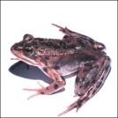 Oregon spotted frog, Rana pretiosa, Kelly McAllister, Washington Department of Fish and Wildlife