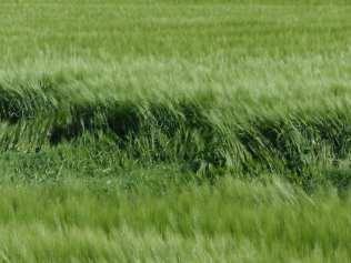 maggio2013 - cerchi nel grano (1)
