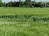 maggio2013 - cerchi nel grano (6)