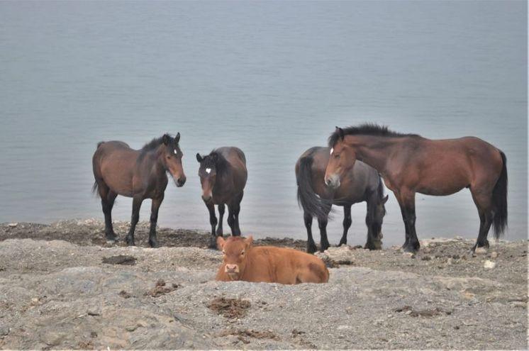 Lago di Giacopiane, cavalli selvatici