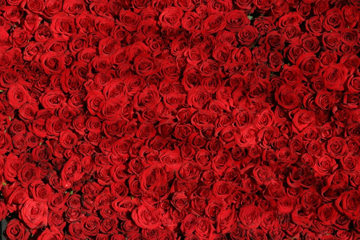 web_rose-374318_1920