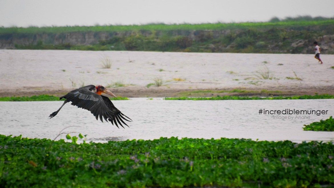 Greater Adjutant: World's most endangered Stork sighted in Munger District for the first time