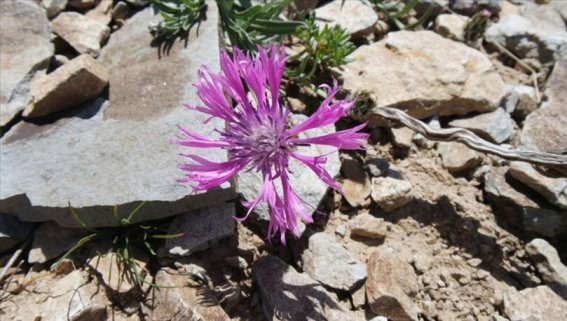 Malatya'da yeni bir peygamber çiçeği türü keşfedildi