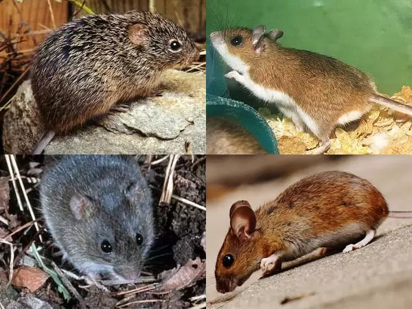 Hantavirus Which Claimed The Life Of One In China Is Not Like ...