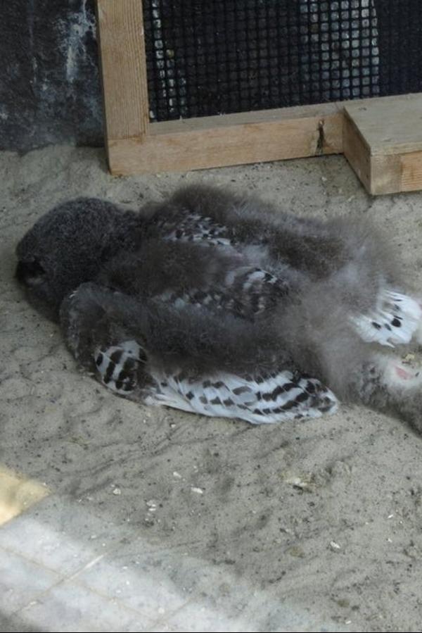 Baby Owls Legs : Sleeping, Ground