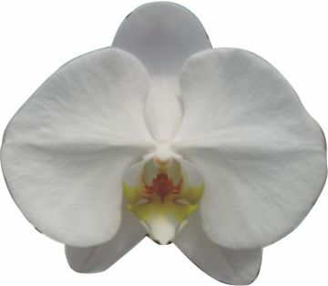 Taiwan Phalaenopsis,Orchid (Phalaenopsis ...