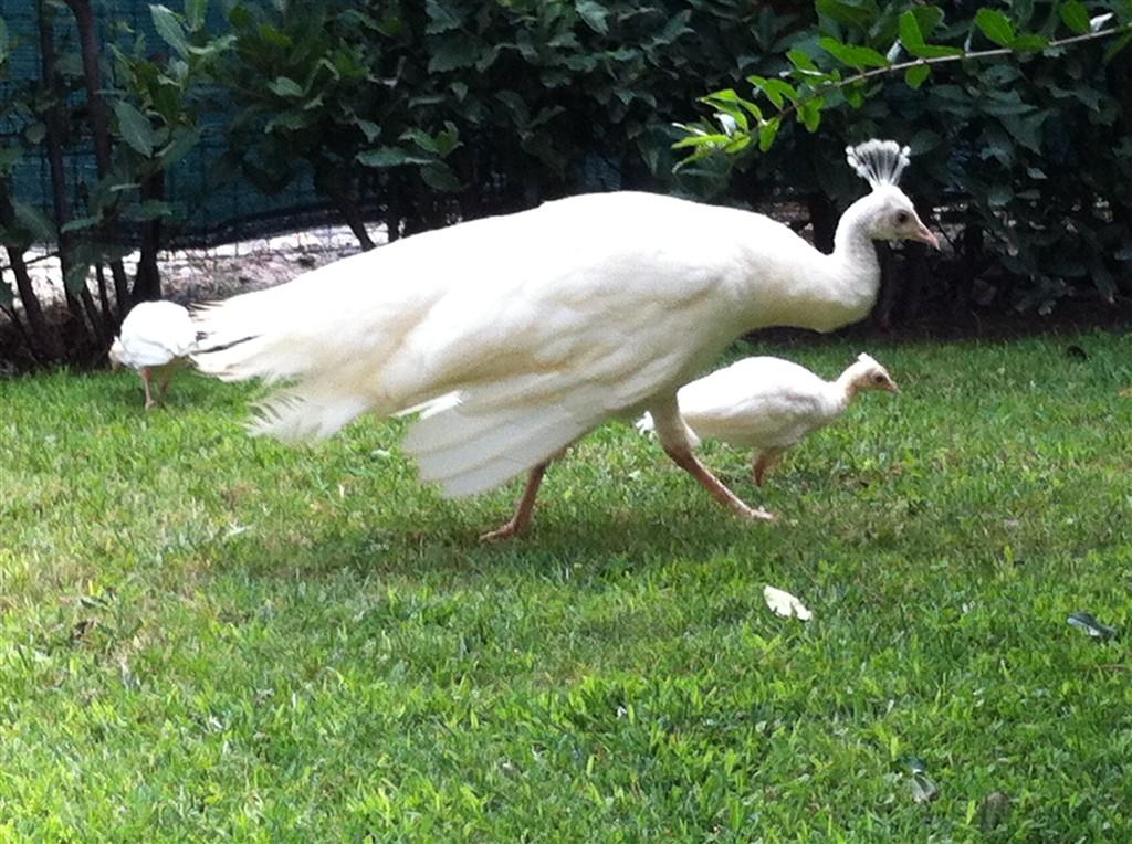 Cedo pulcini di pavone bianco  Pavoforum