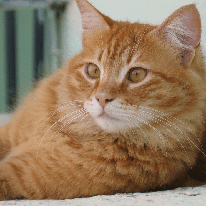 Facts About Orange Tabby Cats