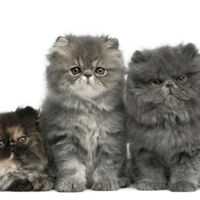 #CrazyCatLady #CatCare #CatBreeds cat breeds
