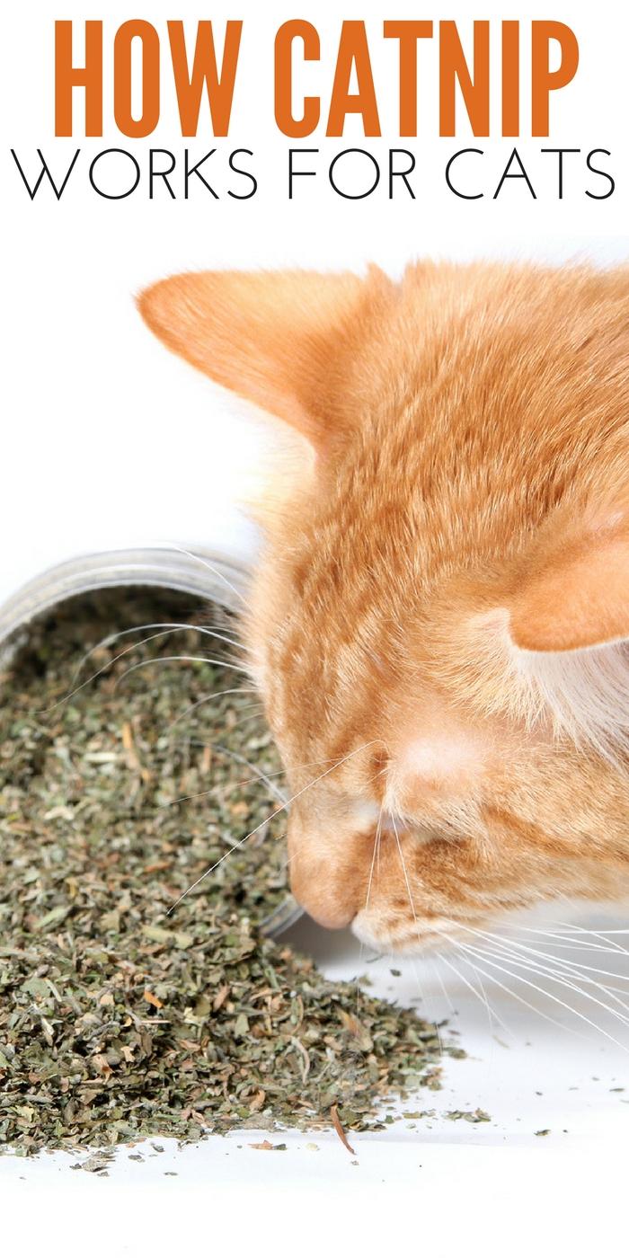 #CrazyCatLady #CatnipandCats #CatnipFacts how does catnip work