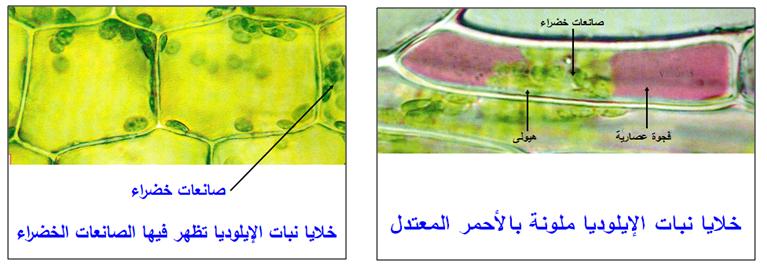 وحدة الكائنات الحية الخلية وحدة بنيوية دراسة الخلية بالمجهر