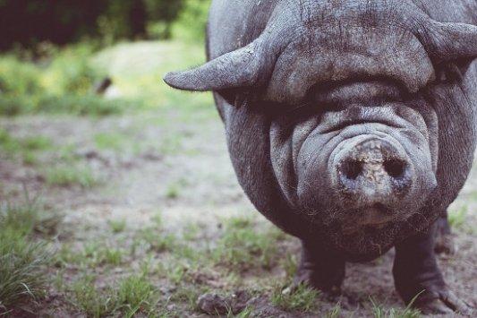 Cerdo en una granja.