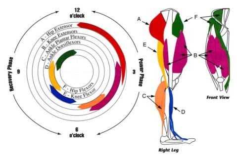 Imagen 1. Músculos implicados durante la pedalada
