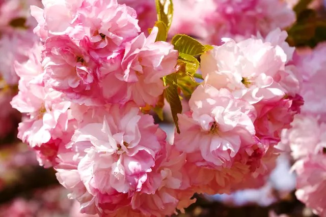 Cerisier ornement