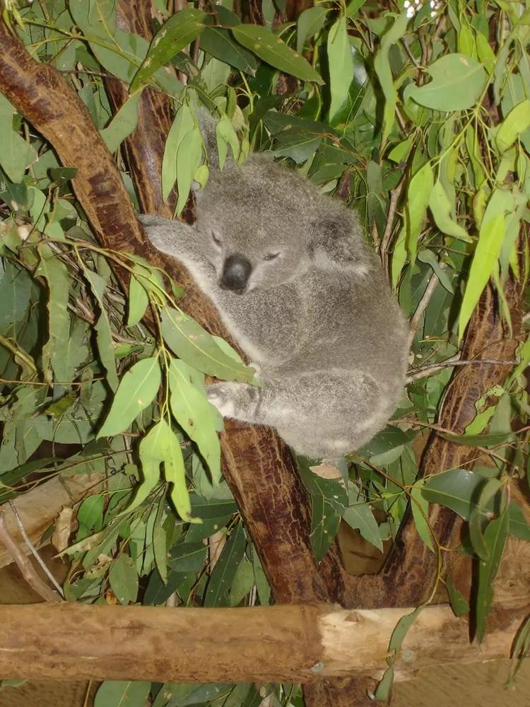 Bb Koala Par Marine Mutel Sur LInternaute