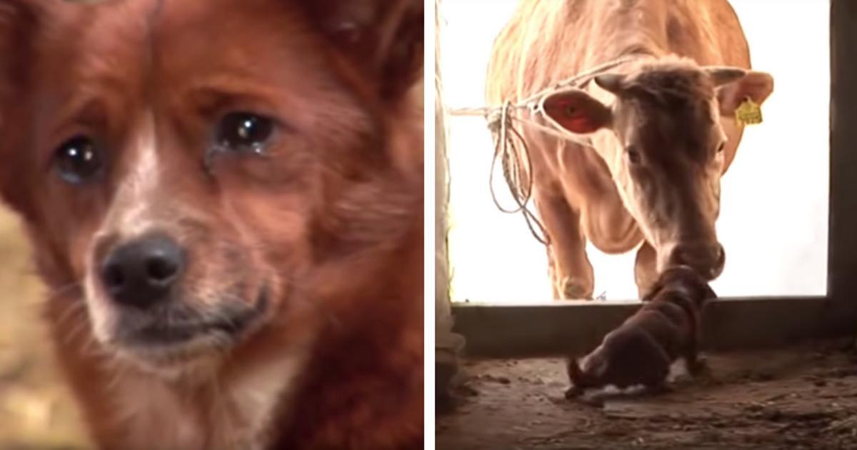Cane piange disperatamente quando i proprietari vendono la sua amica mucca e scappa via per andare a cercarla