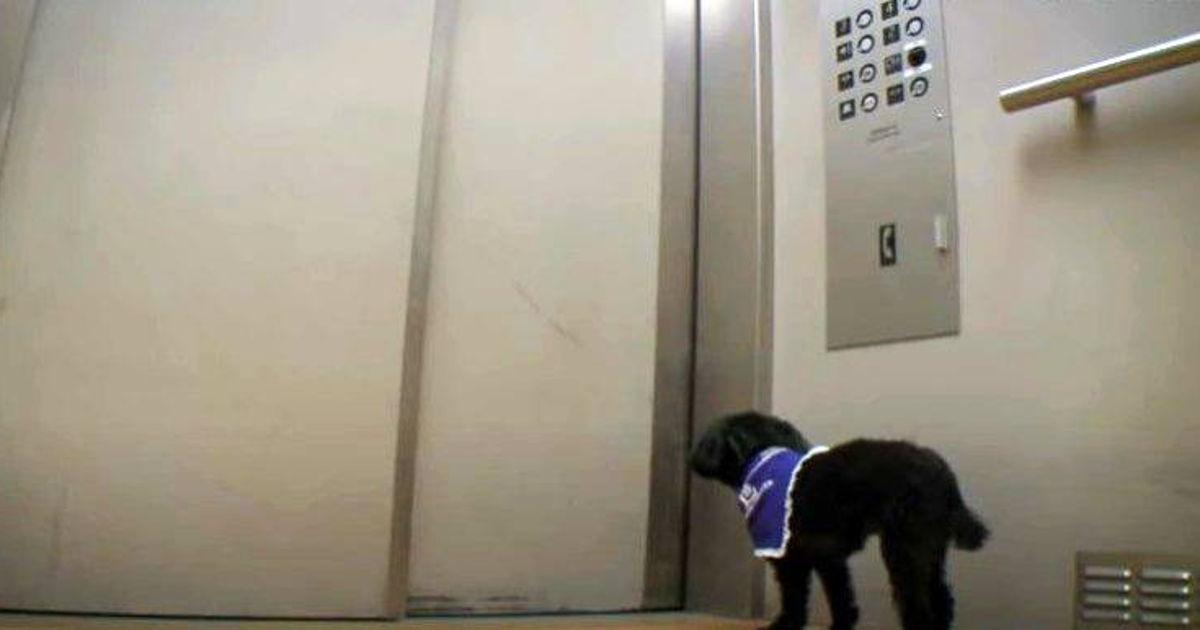 Teacup Poodle Rides Nursing Home Elevator With Touching Mission