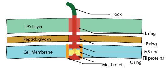 Flagella Motor