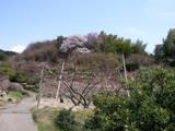 段々畑の上に山櫻