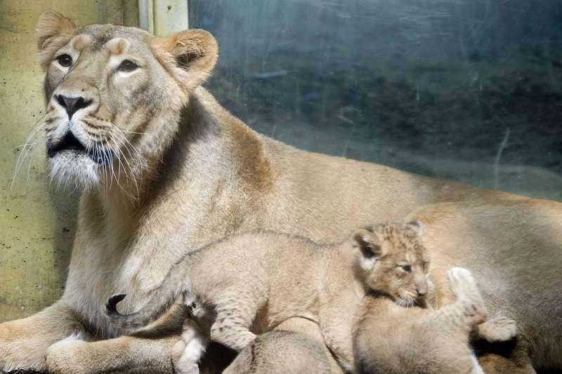 猛獸出閘!德國動物園5隻獅子,如果封鎖期愈來愈長,導致遊客減少,德國動物園列安樂死清單 | TechNews 科技新報