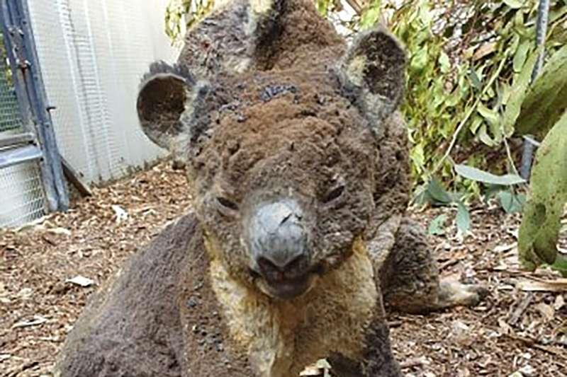 大火再燒下去,無尾熊恐瀕臨絕種!澳洲政府砸15億救國寶,甚至有人提案將牠們遷徙到這裡-風傳媒