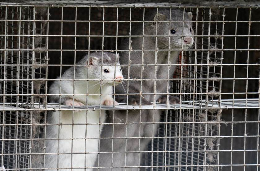 Minks are seen at a farm in Gjol, northern Denmark on October 9, 2020.