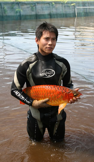 Supper Red Arowana Fishid6551830 Product details  View