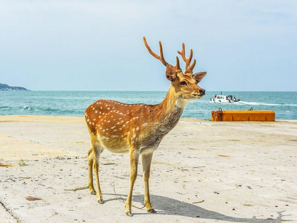 漫看大坵島的梅花鹿在海邊悠閒散步,十足療癒。