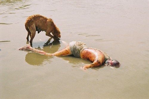 8210940.jpg (혐) 인도인들의 성수 겐지스 강 실태.jpg