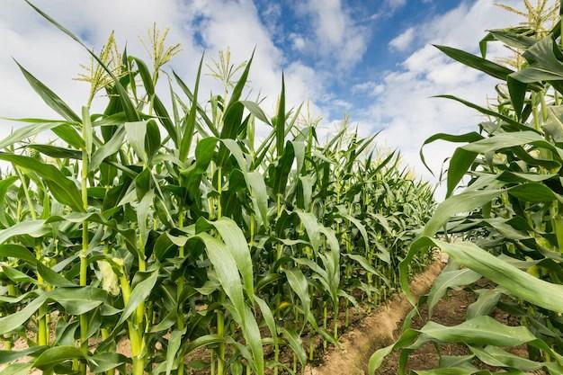 Resultado de imagen para maiz verde