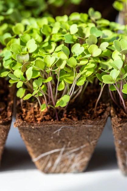 Cerca de jóvenes brotes verdes rúcula con raíces en maceta de turba biodegradable para plántulas Foto Premium