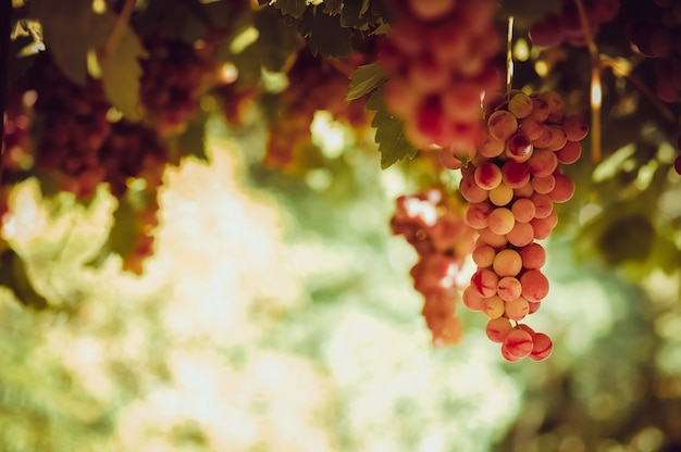 Fall Collage Wallpaper Racimo De Uvas Fotos Y Vectores Gratis