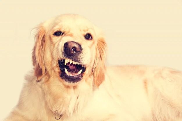 Cão retriever adulto mostrando os dentes